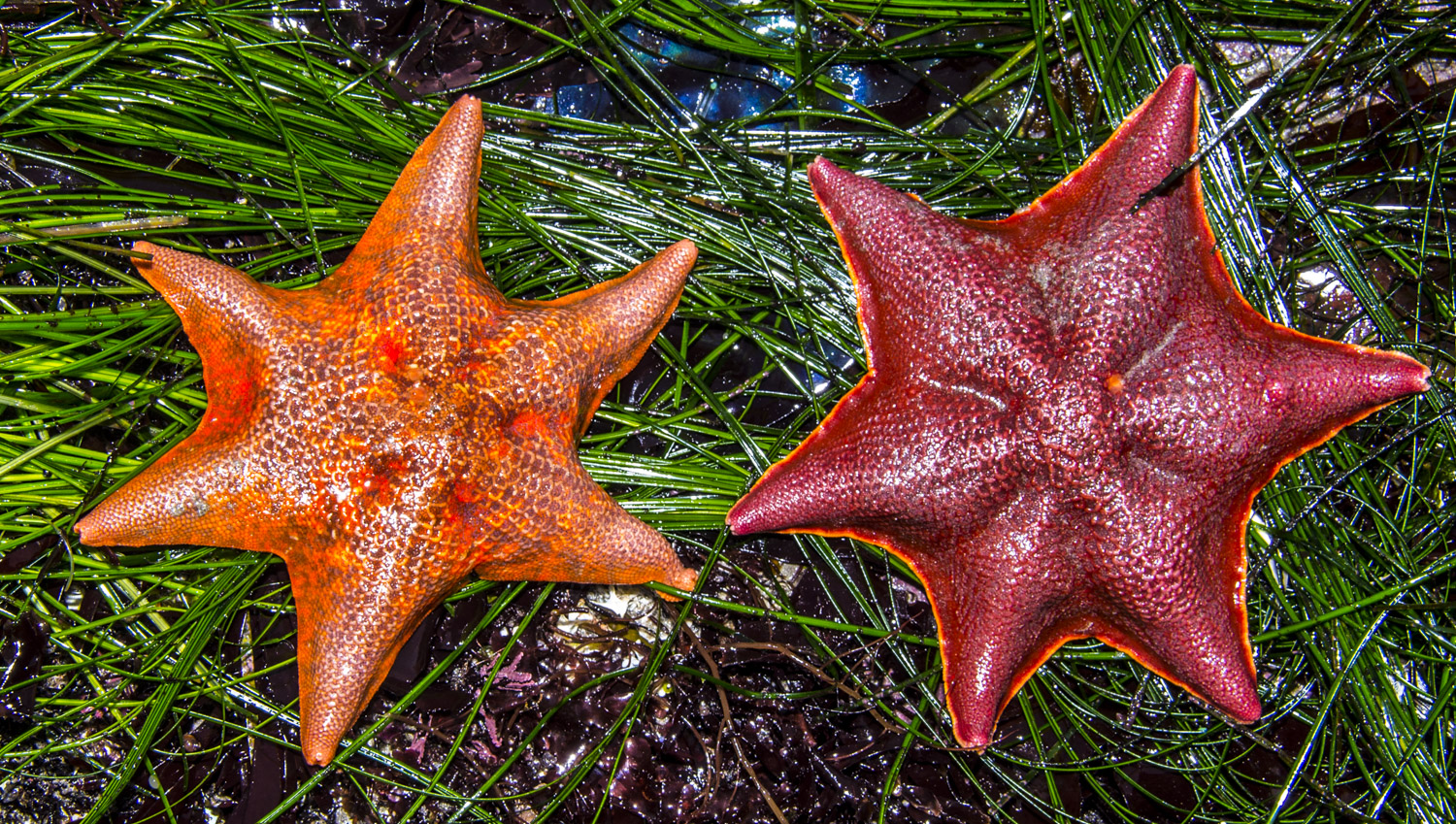 Two bat stars, the adult forms of the larva used in this experiment (Wikipedia).