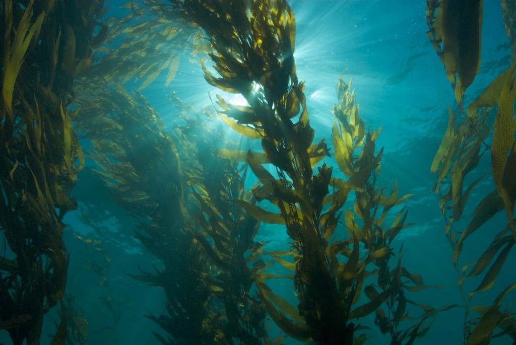 Fig. 1: Massive kelps are good at creating habitat for others but have proven sensitive to changes in climate. Could they be canaries in the coal mine for detecting climate change? (Photo: Riverview Science)
