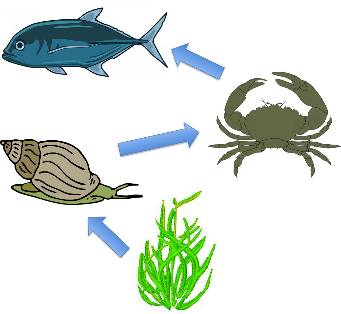 Figure 1: Example of a surface ocean food web. Seaweed feeds grazers like sea snails, sea snails feed predators like crabs, and crabs feed higher predators like fish.