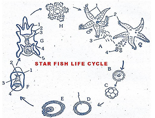 The life cycle of a starfish. Male and female adults release reproductive cells into the water and larvae are formed. A floating larva spends months drifting at sea metamorphosing into a tiny starfish (H) that settles on the seafloor.