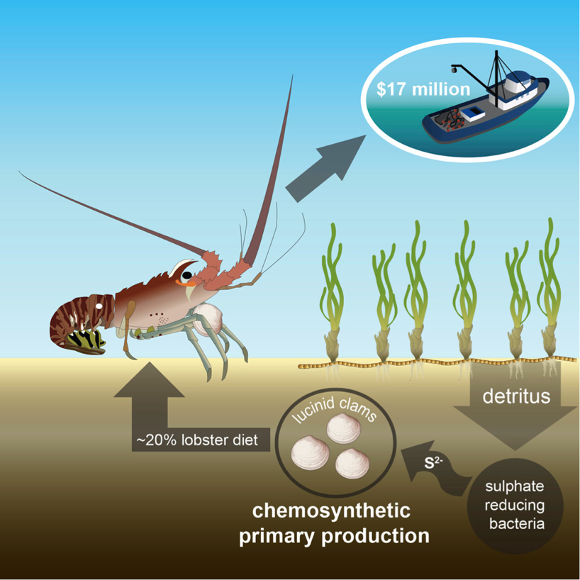 Figure 4: Schematic of the seagrass bed food web. Detritus from the seagrass decays in the sediment, where chemosynthetic bacteria in the clam gills are able to use sulfur to turn it into carbohydrates.  The lobsters eat the clams (20% of their diet) and are then taken into a $17.4 million fishing industry. Source: Higgs et al. 2016.