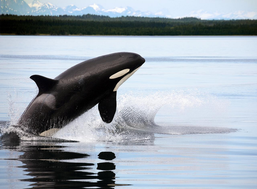 What killer whales tell us about menopause
