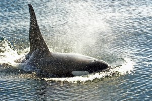 Male killer whales mate with females from other pods, and calves are raised by their mother and her relatives. Unlike many human societies, orcas live in a matrilineal society, meaning an individual's lineage is traced through their female relatives. [Wiki]