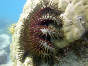 Red Crown-of-Thorns Starfish eating coral. Author Matt Kieffer, Flickr. No modifications made. https://www.flickr.com/photos/mattkieffer/3016449061 Link to license: https://creativecommons.org/licenses/by-sa/2.0/legalcode