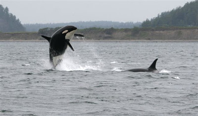 """Granny (breaching, officially named """"J2"""") was the long-time matriarch of the J pod of the northern resident killer whale population. She disappeared in late 2016, and was thought to be over 100 years old. Her last known calf, Ruffles (""""J1"""") was born in the 1950s and was last seen in 2010. [Prince of Whales blog]"""