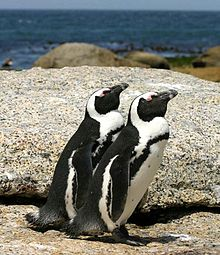 220px-African_penguins_Boulder_Bay_1
