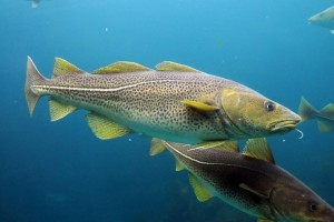 Atlantic cod are benthopelagic, meaning they like to sit near the bottom [Flickr]
