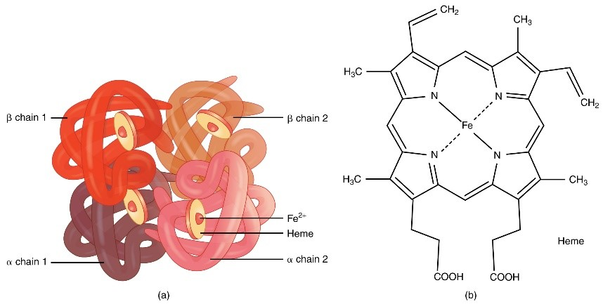 A single haemoglobin molecule can carry up to four molecules of oxygen [Wikimedia].