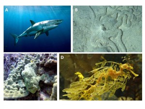 Figure 1: Some of just the many forms of camouflage in the ocean. A) in the open ocean, great white sharks use sunlight to blend in to the midwater, B) an octopus blends in seamlessly with the seafloor, C) a frogfish hides among coral, D) a leafy sea dragon has evolved to appear like a floating piece of algae. Image credits: A)Atlanticwhiteshark.org (http://www.atlanticwhiteshark.org/#welcome) B) Jacksdivinglocker.com (https://www.jacksdivinglocker.com/frog-fish-fever/) C) Futurescienceleaders.com (http://www.futurescienceleaders.com/improbableobservations/2013/10/05/camouflage-the-secret-to-invisibility/) , D) Monterey Bay Aquarium (https://www.montereybayaquarium.org/animal-guide/fishes/leafy-sea-dragon)