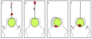 Figure 4: P. polylepis uses its haptonema (center flagellum) to capture prey and move it to the opening on its body for consumption (source: Dölger et al., 2017)