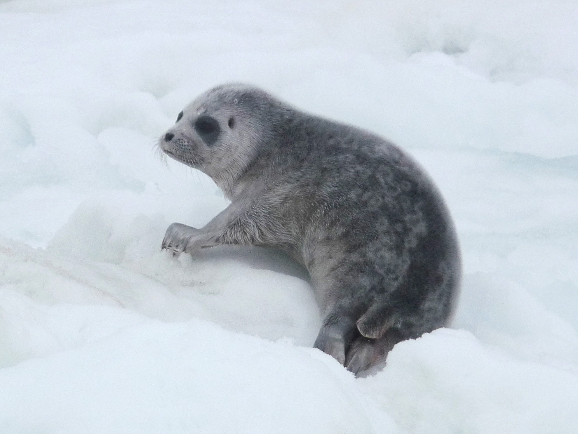 Throwing Babies out with the Sea Ice: Ringed Seals Response to Ice Decline