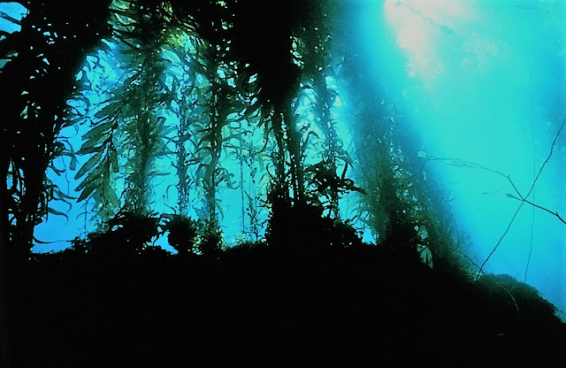 Vacancy at your local kelp forest