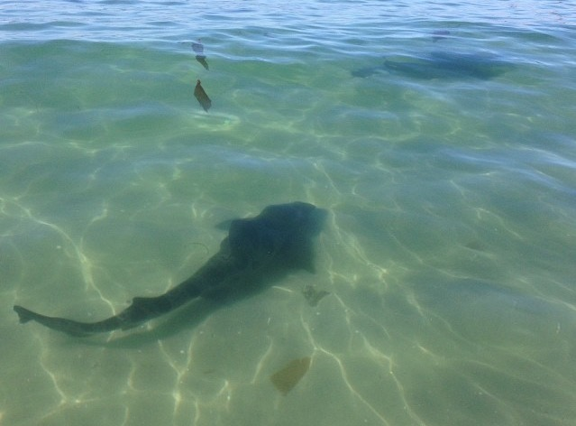 Sharks and other ocean top predators: unlikely allies in combatting climate change?