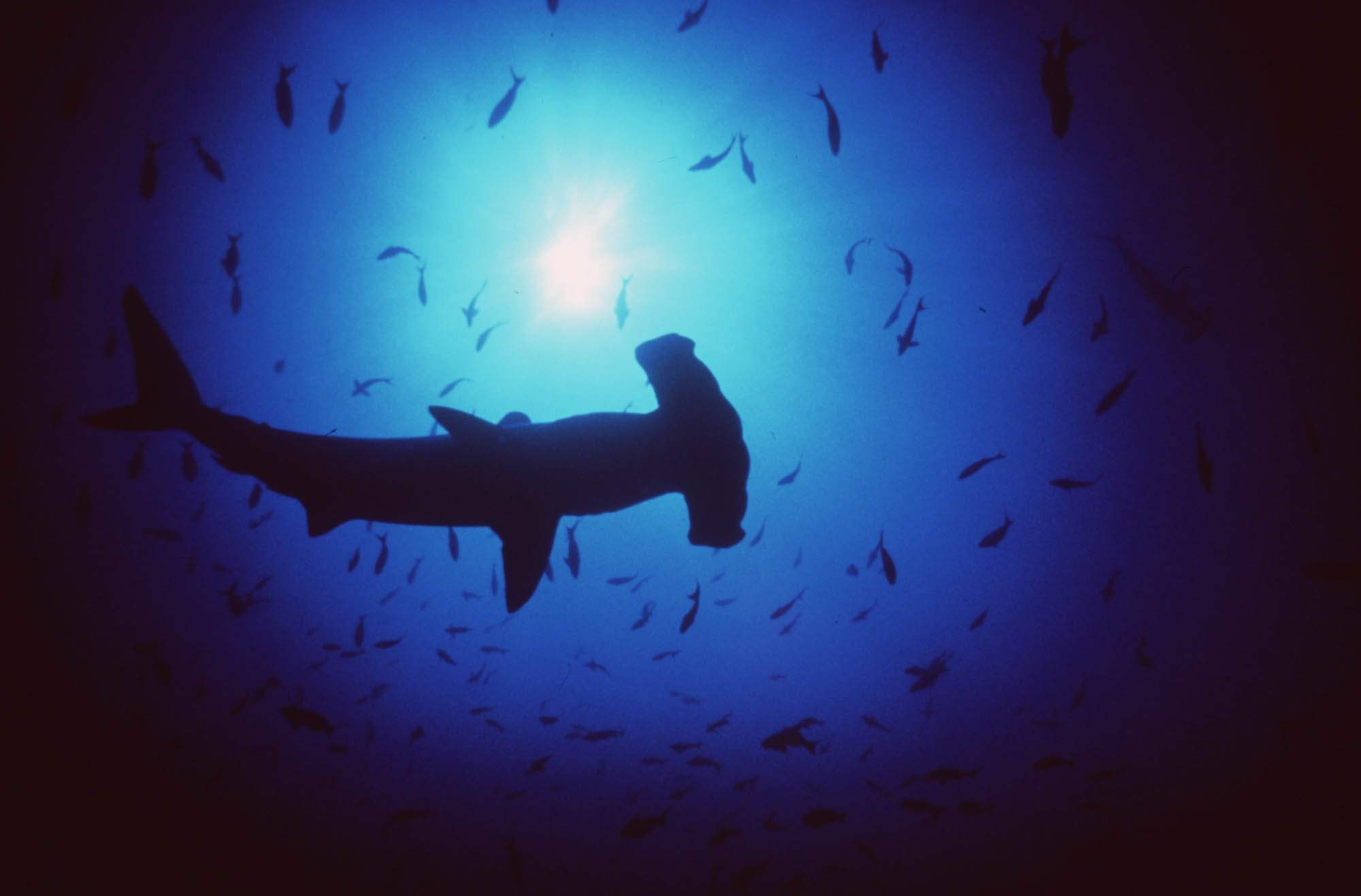 """How just 3% saves 50%: Small expansions of protected areas in """"shark hot spots"""" could save HALF of currently endangered Sharks, Skates, and Rays"""