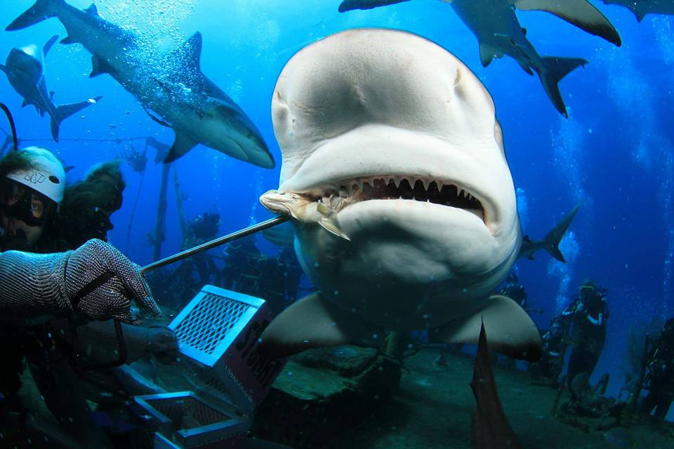 Can Ecotourism influence sharks?