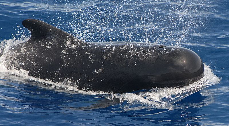 After the Phase Out: Can Banning Toxic Chemicals Rescue Pilot Whales?