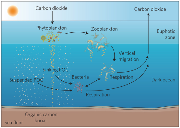 The Missing Mechanism: How Ocean Fronts Impact Sinking Organic Matter