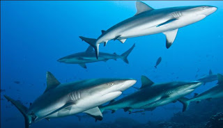 Can you keep me safe? What can MPAs do for Sharks