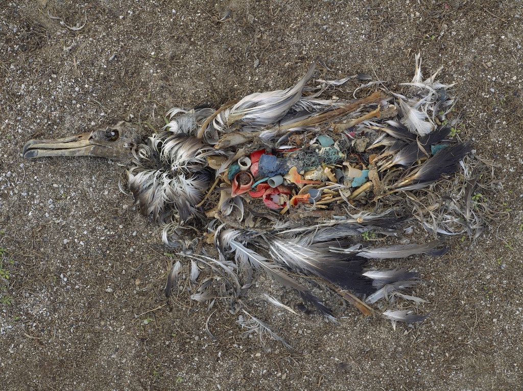 The Difference between Dippers and Divers: Plastic Pollution in Deep-Diving Seabirds