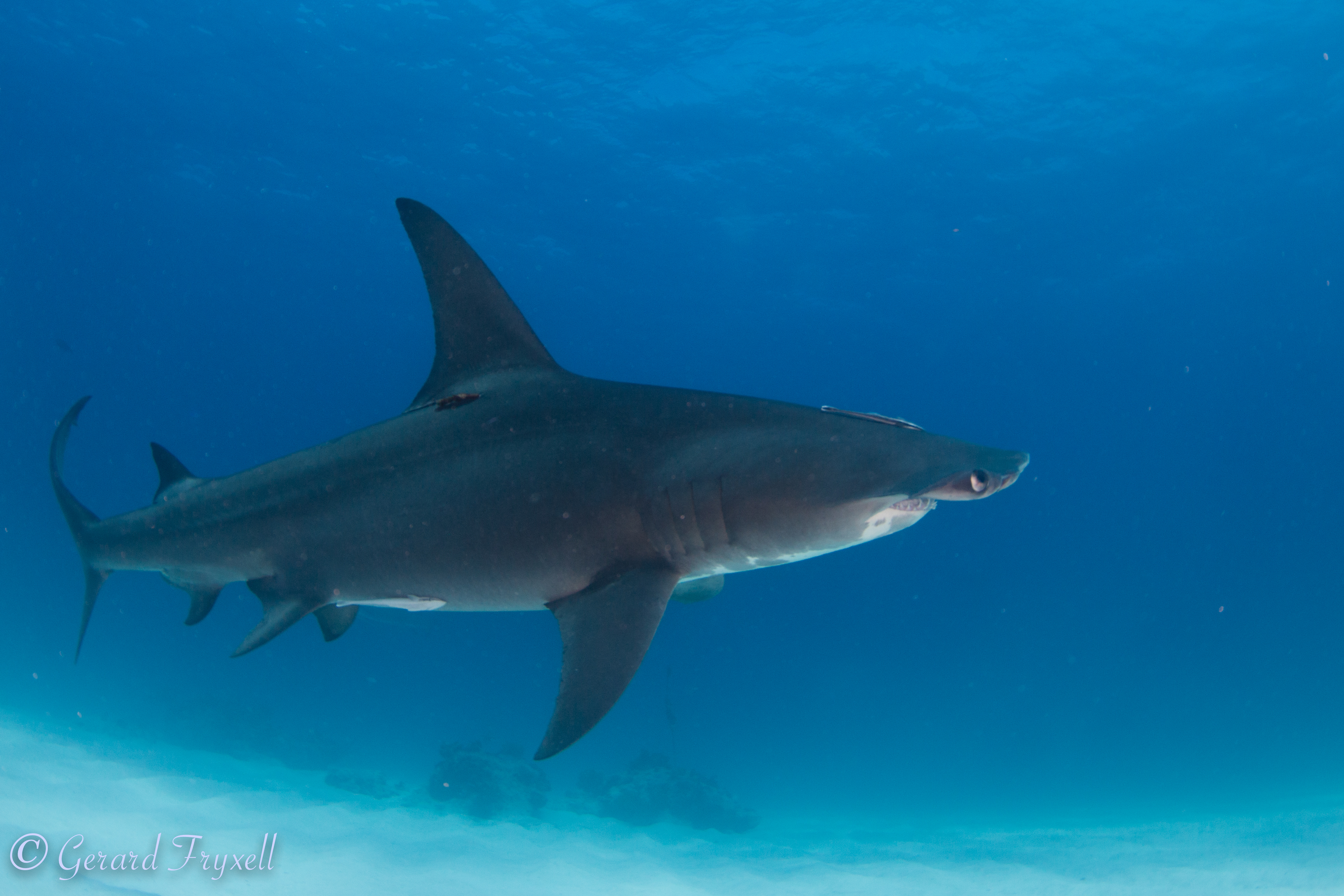 To Cull or Not to Cull: Determining Attitudes Towards Shark Mitigation Strategies