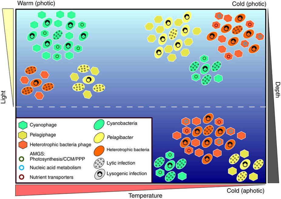 Riding the phage wave: Emerging role of viruses in the ocean
