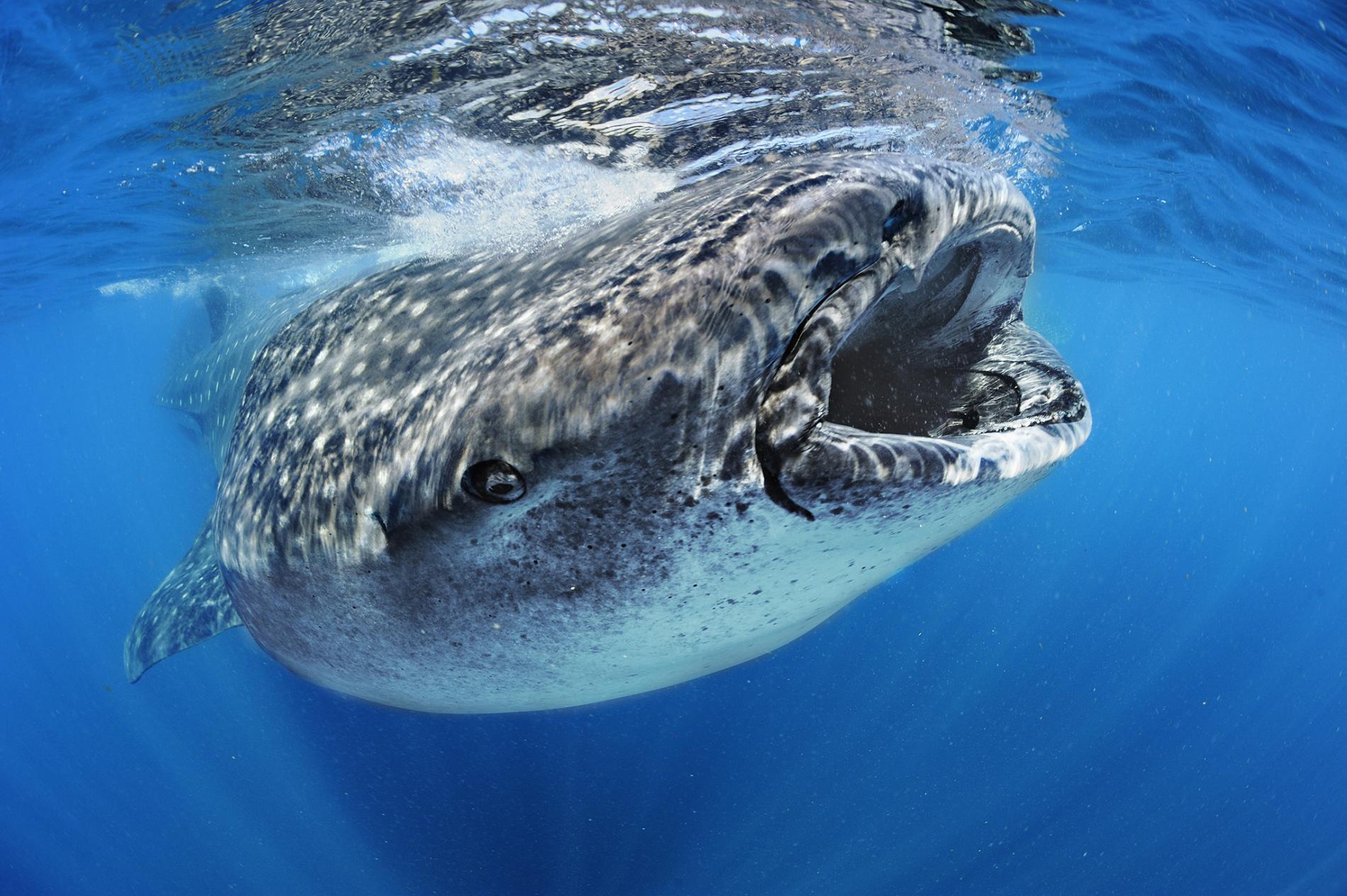 It's a whale, it's a shark… No, it's a whale shark!!