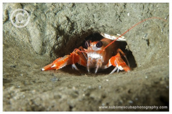Lobsters fighting antenna and claw over burrows