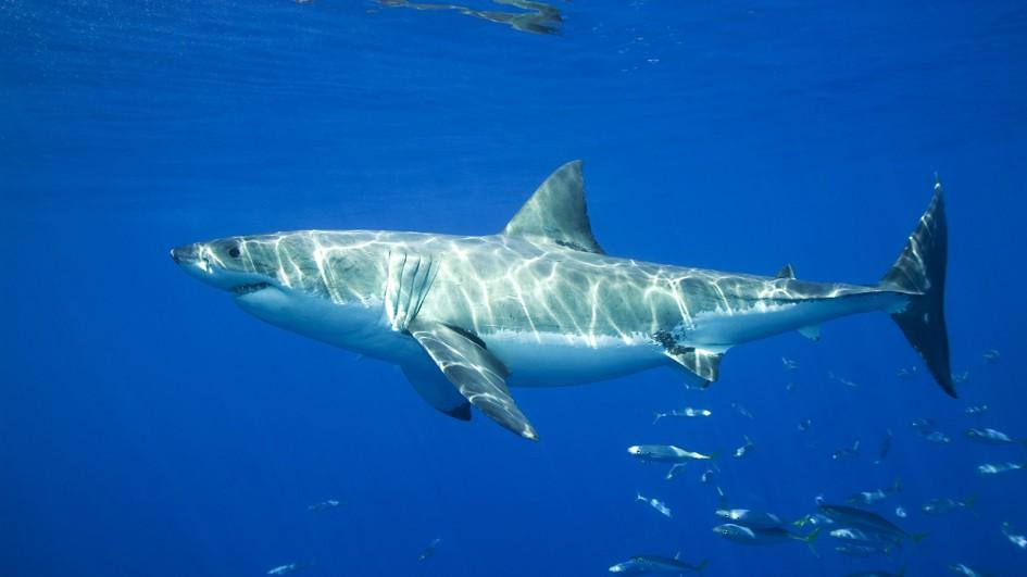Baby come back: capture-induced premature birthing in elasmobranchs