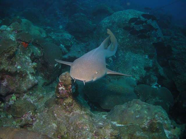Homebodies on the move: Documenting partial seasonal migration in mature nurse sharks