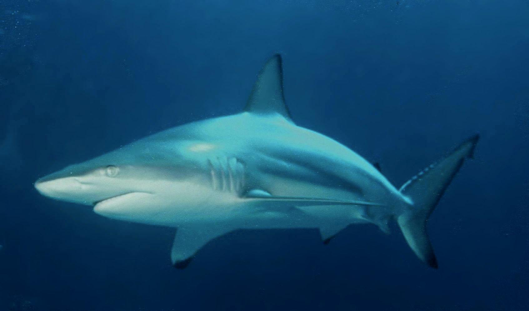 The Great Migration: Blacktip Sharks