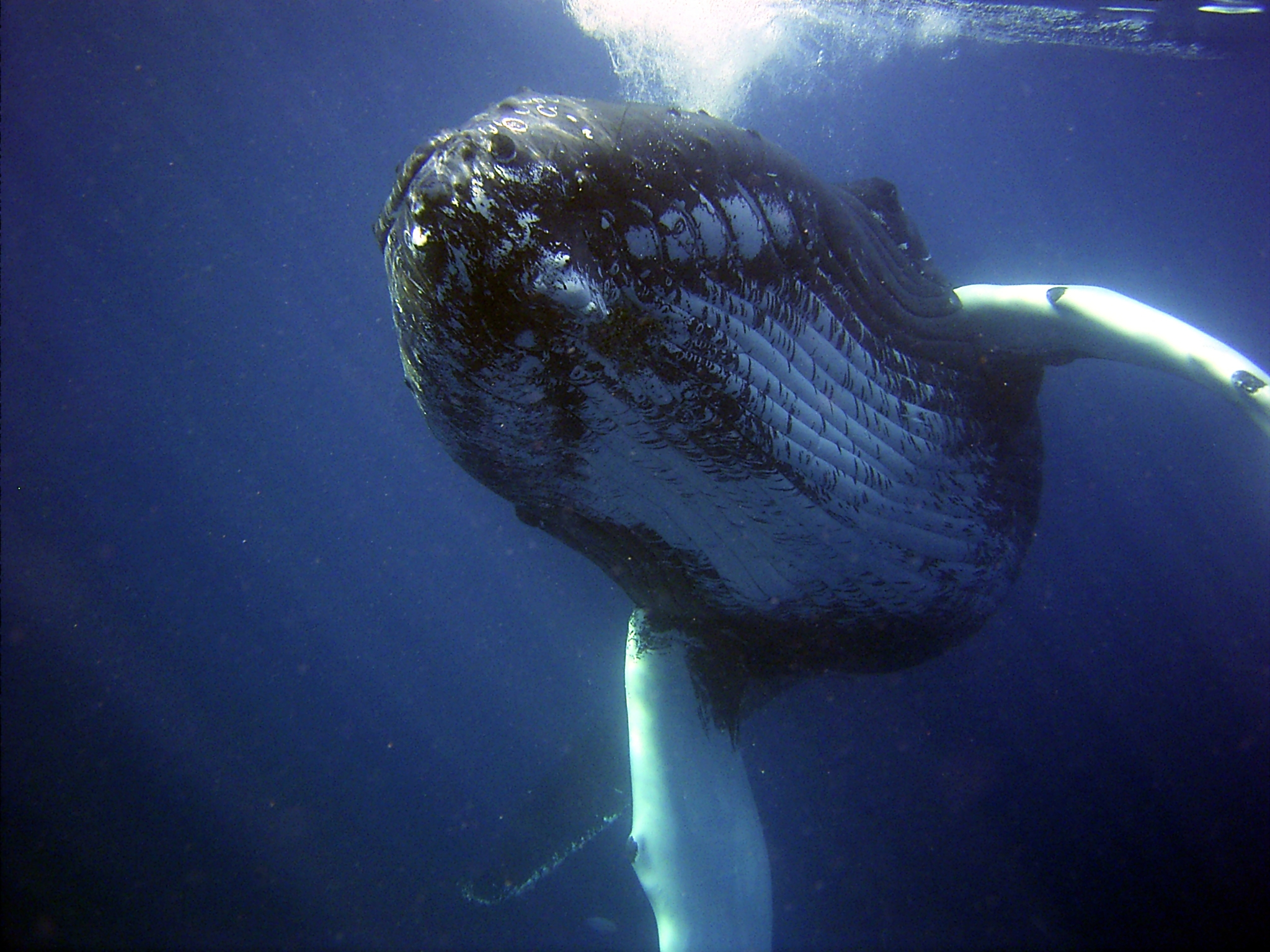 Not Just Hanging Out: The Importance of Humpback Whale Mother Calf-Area Use in Hawaii