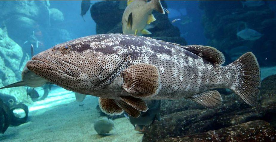 Big Momma: bigger fish are better moms
