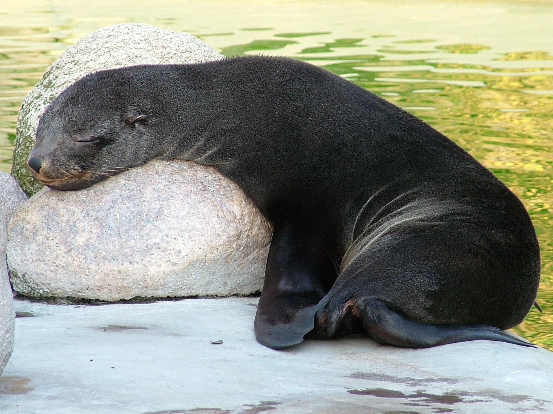 Sleeping with one eye open: fur seals may help us understand sleep patterns