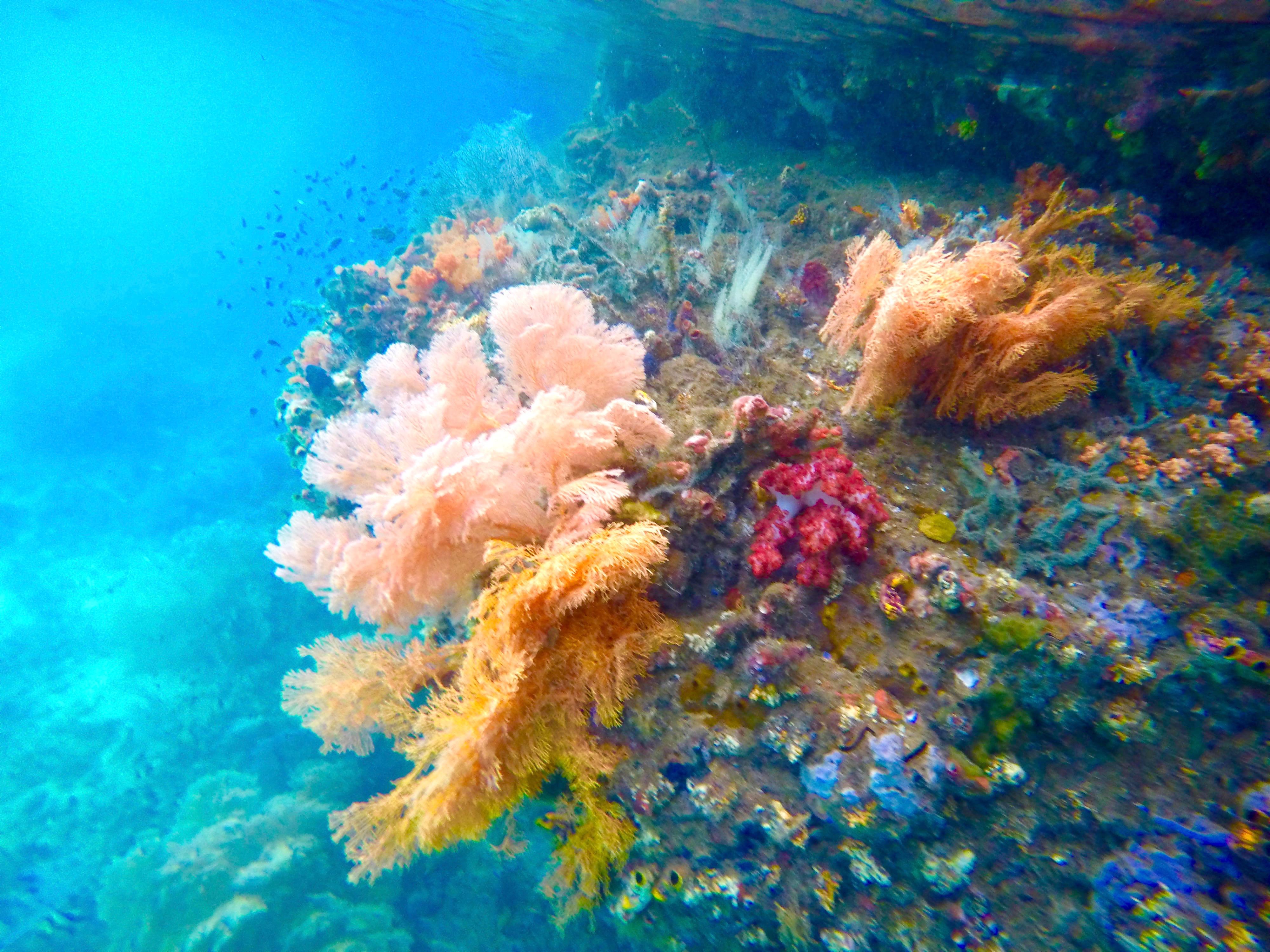 The Coral Dilemma: Is Hybridization the Key?
