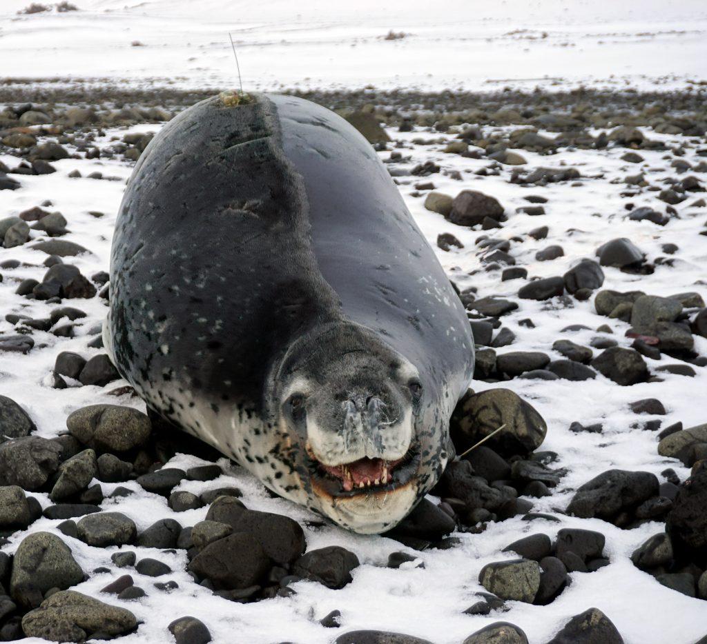 Studying Leopard Seals in Antarctica