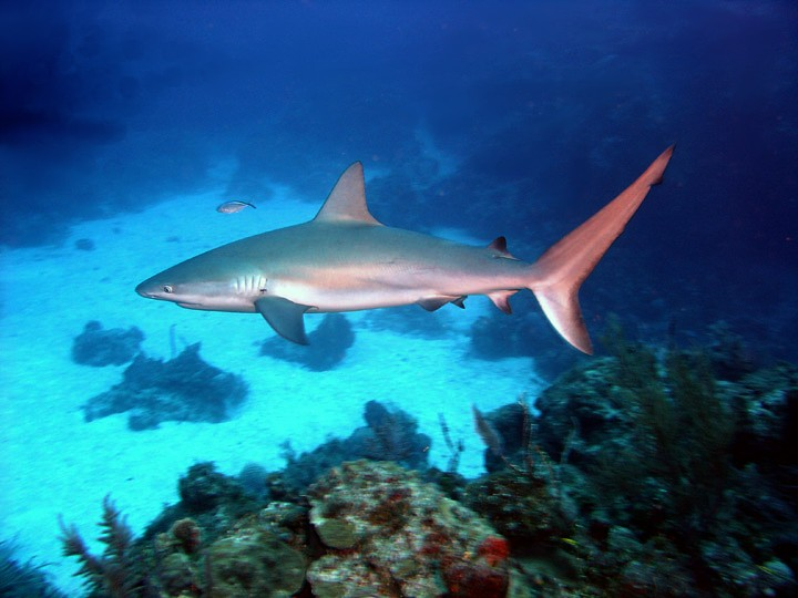 Stuck in the middle with you: The trophic ecology of Caribbean reef sharks and large teleost coral reef predators