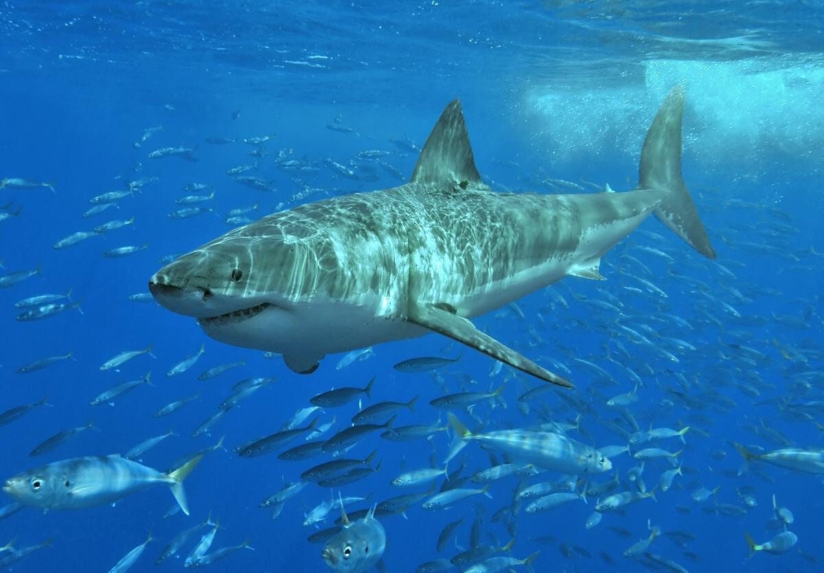 Ecotourism may impact white shark activity levels