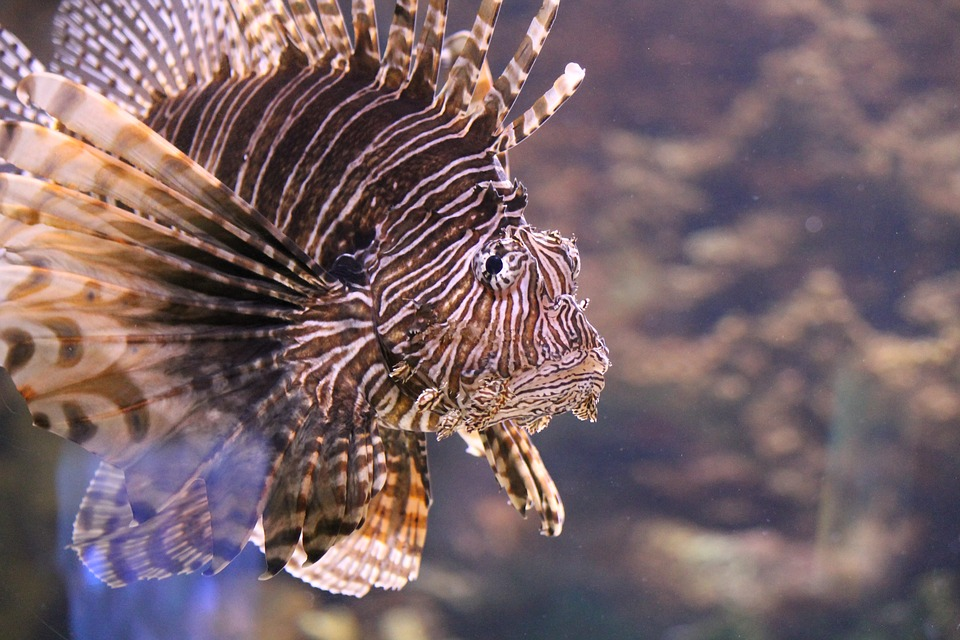 Tackling Invasive Lionfish with our Stomachs.