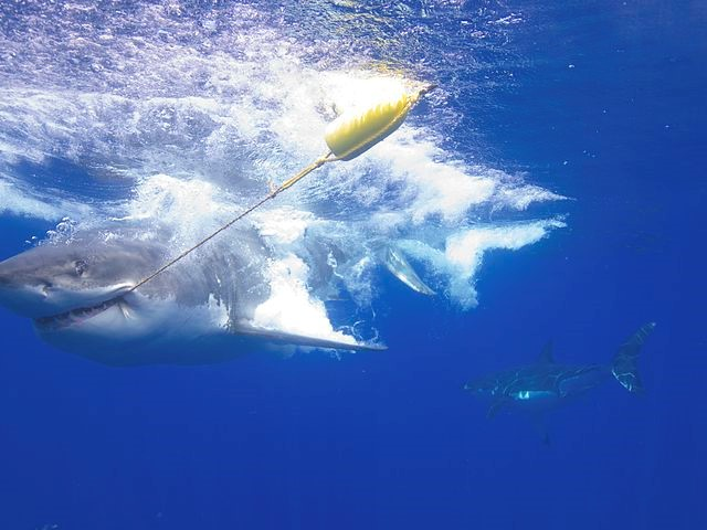 """A new take on disco fever: using """"the disco effect"""" to save sharks"""
