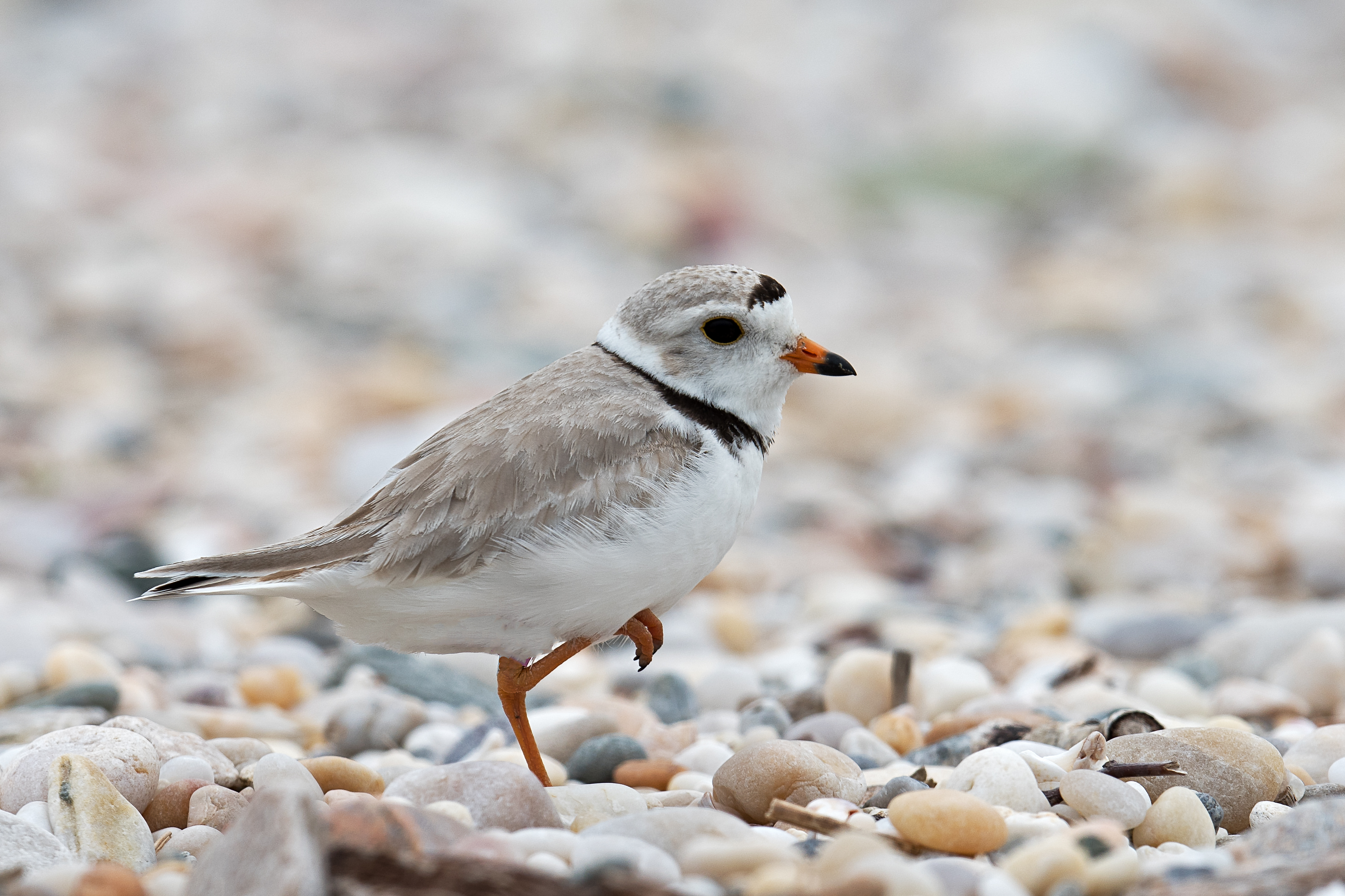 Good Neighbors: Why we need to be careful with Piping Plovers, even when they aren't breeding