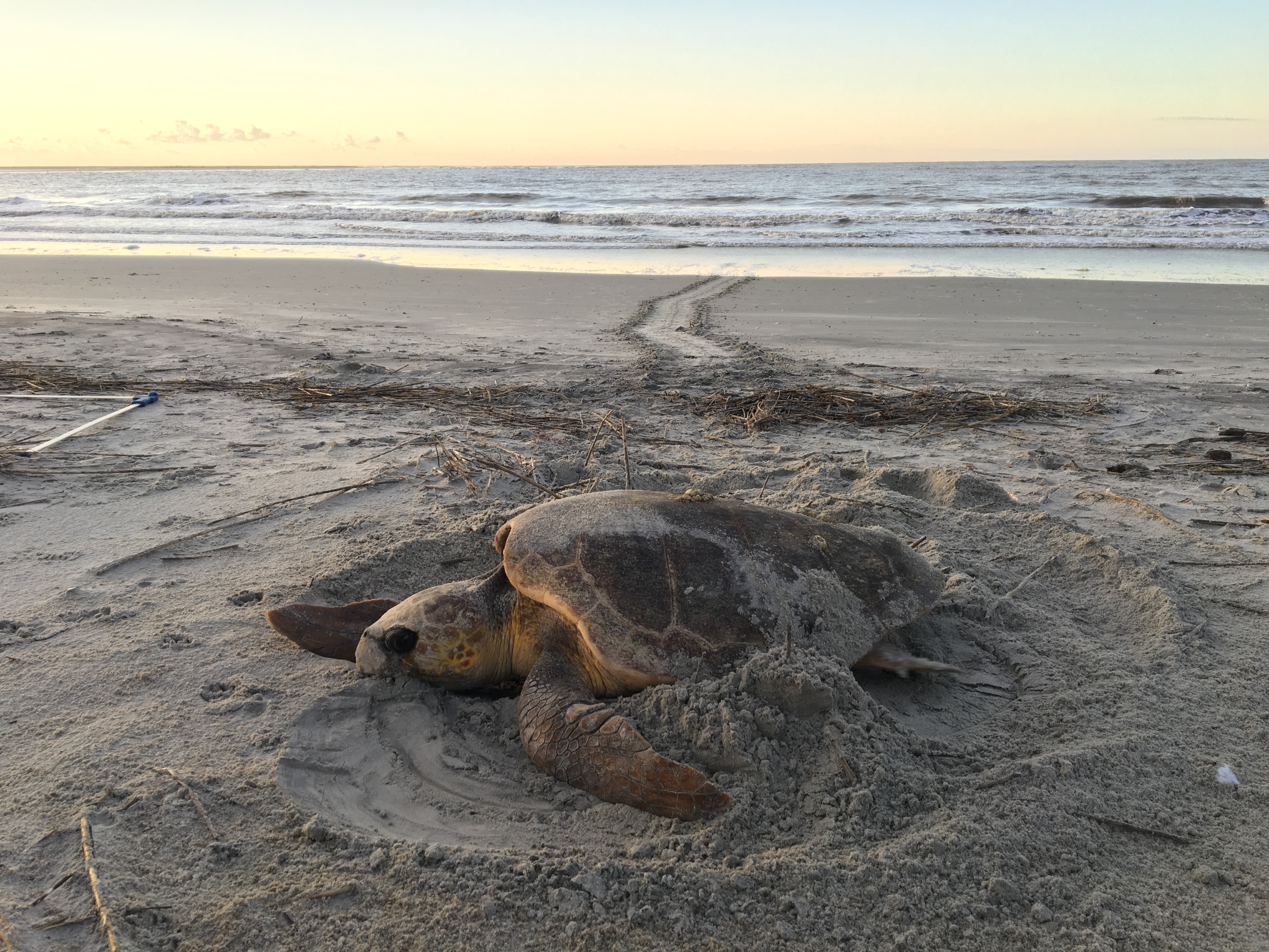 Turtles in the Trash: How microplastics are washing up where turtles breed