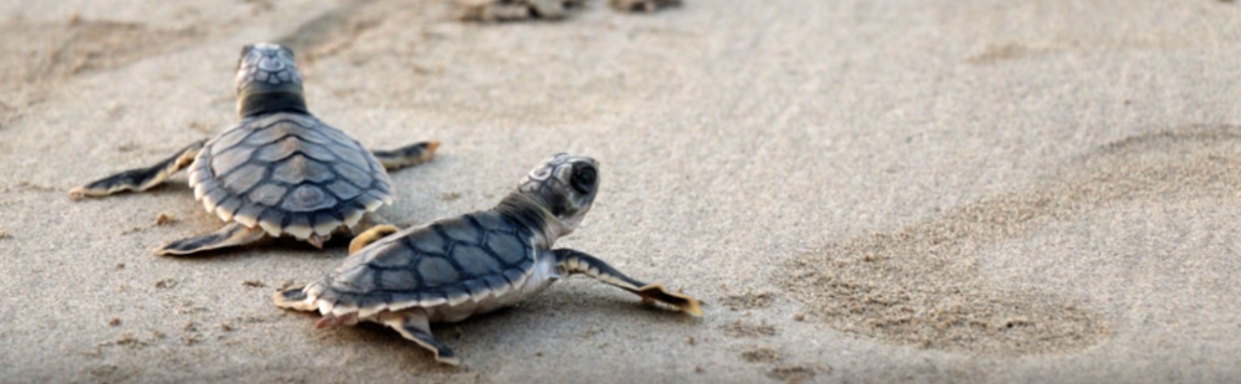 Turtle hatchlings attracted to artificial light like moths to a flame