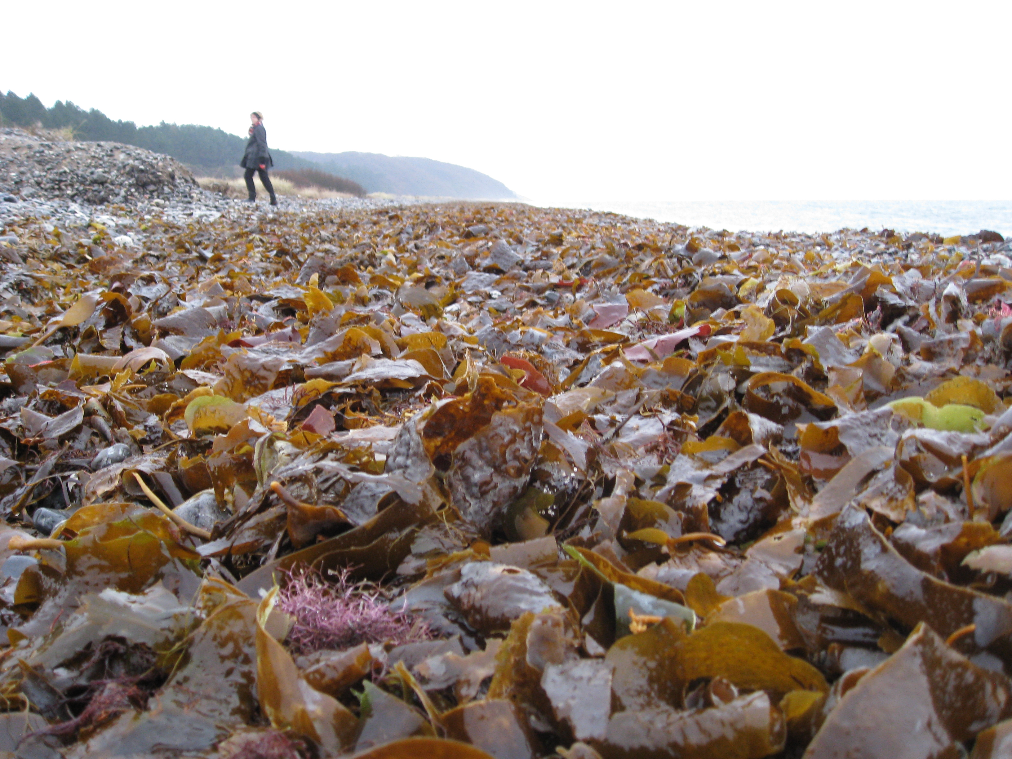 Holding fast: kelp in Nova Scotia tries to grow on turf algae after a period of decline