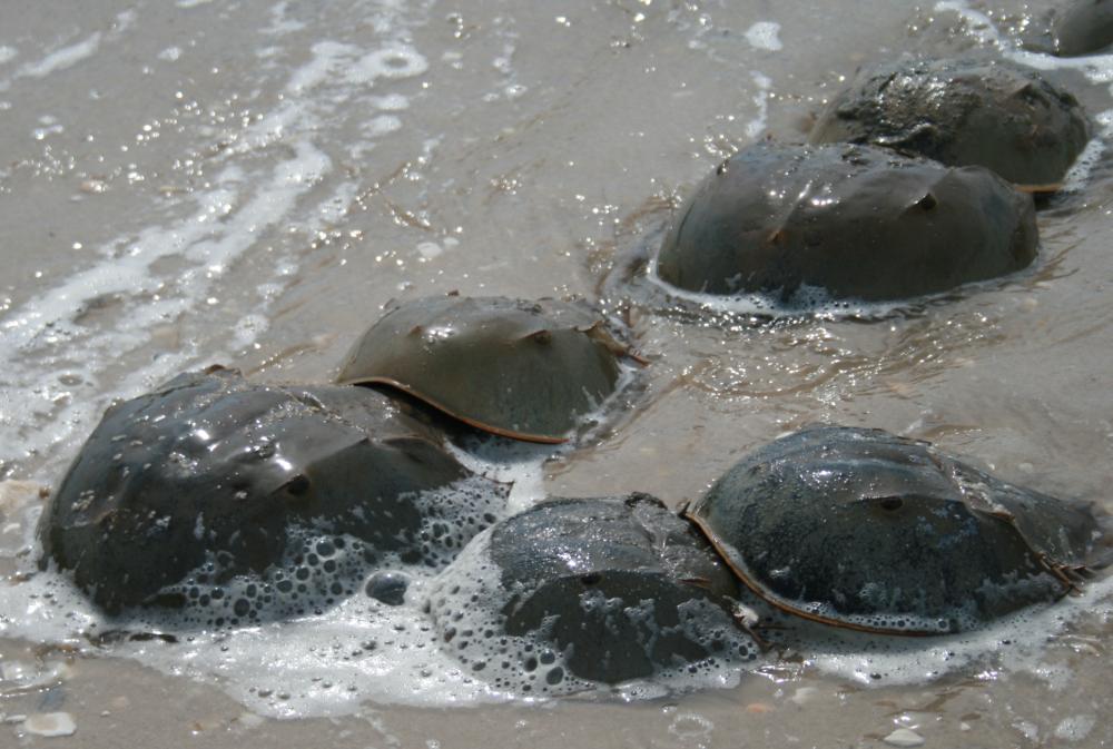 Saving the Blue Bloods: Horseshoe Crab Edition
