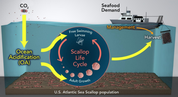 A Balancing Act for the US Atlantic scallop: Ocean Acidification and Fishery Management