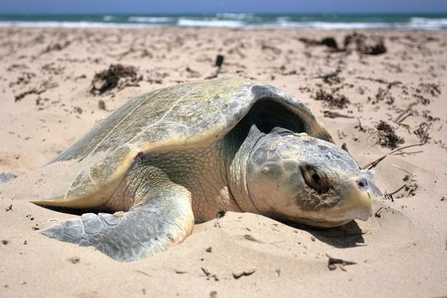 Global Warming Increases Cold-Stun in Sea Turtles