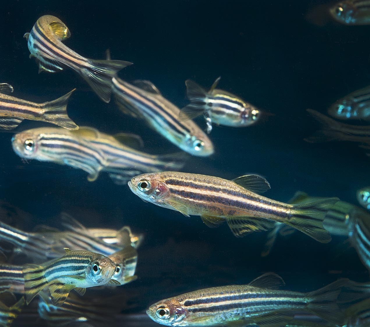 Bold Fish, Shy Fish: What's in Their Brains?