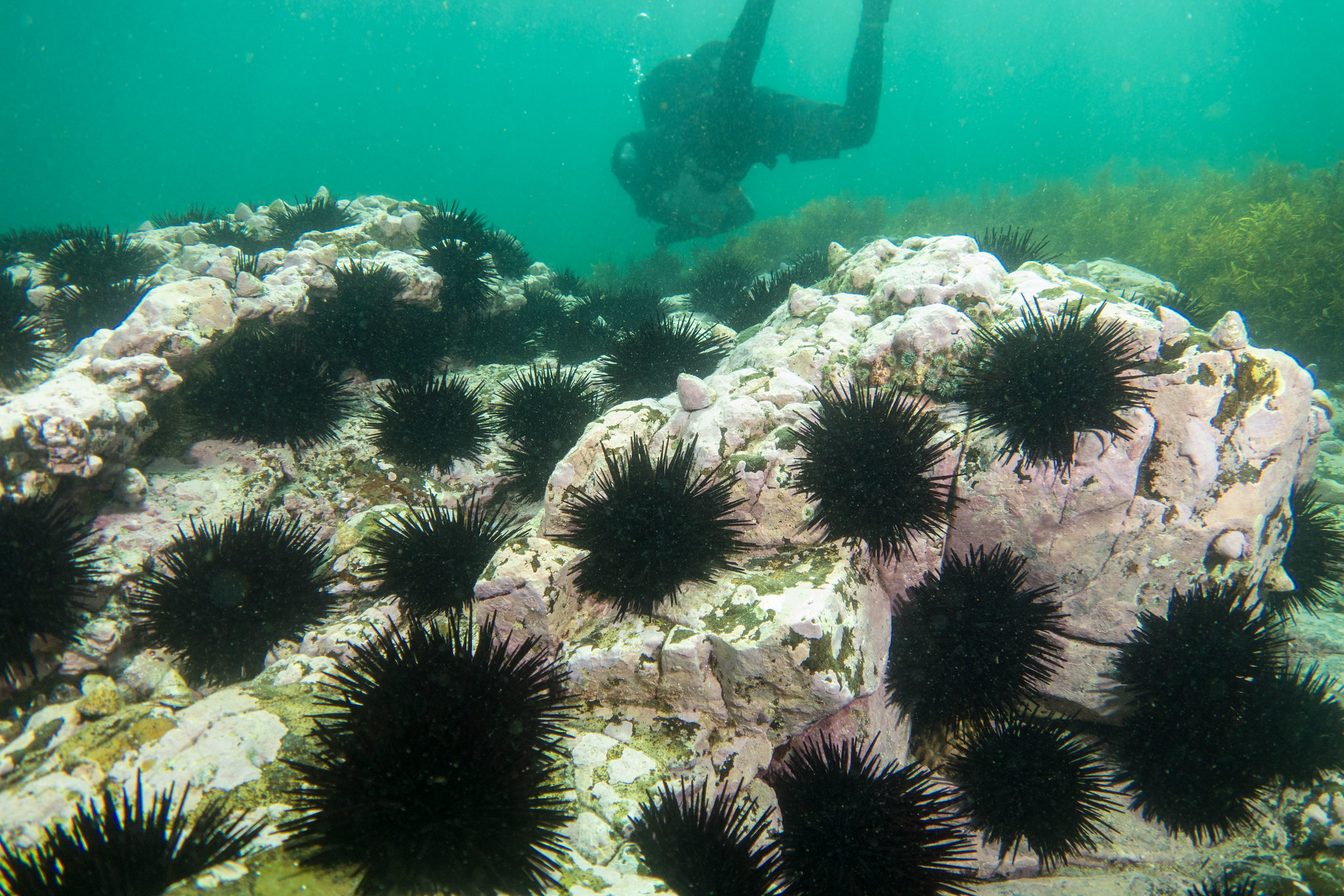 On the case: Scientists use many sources to find the culprit in kelp disappearance