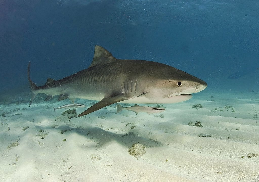 Birds of a feather are eaten together: Young tiger sharks take a bite out of migrating songbirds