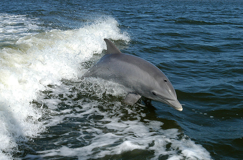 Are dolphins losing their minds in blooming ocean waters?